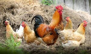 Απίστευτο: Κότες στη Λαμία κάνουν πράσινα αυγά (pics)