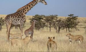 Ατρόμητη καμηλοπάρδαλη τα βάζει με μία ολόκληρη αγέλη λιονταριών!