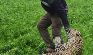 Εξαγριώμενη λεοπάρδαλη μπαίνει σε χωριό και η συνέχεια δεν περιγράφεται!
