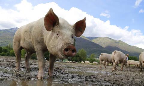 Φρικτός θάνατος 56χρονης: Την κατασπάραξαν τα γουρούνια