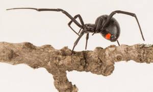 Ανακαλύφθηκε νέο είδος μαύρης χήρας – Πρόκειται για το μεγαλύτερο στην Αφρική! (pics+vid)