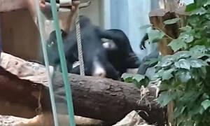 Save Bili: Τρομακτικό bullying πιθήκων σε χιμπατζή μέσα σε ζωολογικό κήπο (vid)