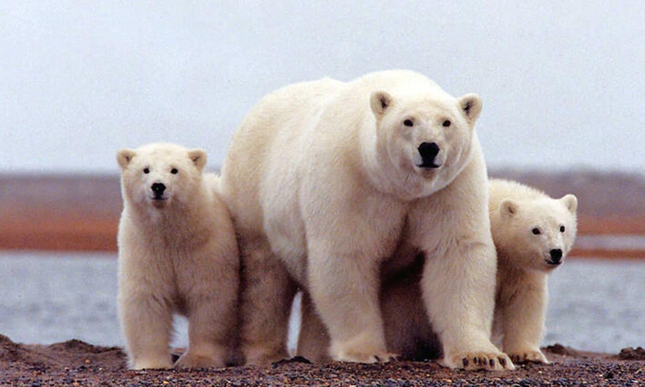 Τρόμος στη Ρωσία: 52 πολικές αρκούδες εισέβαλαν σε χωριό ψάχνοντας για φαγητό (vid)