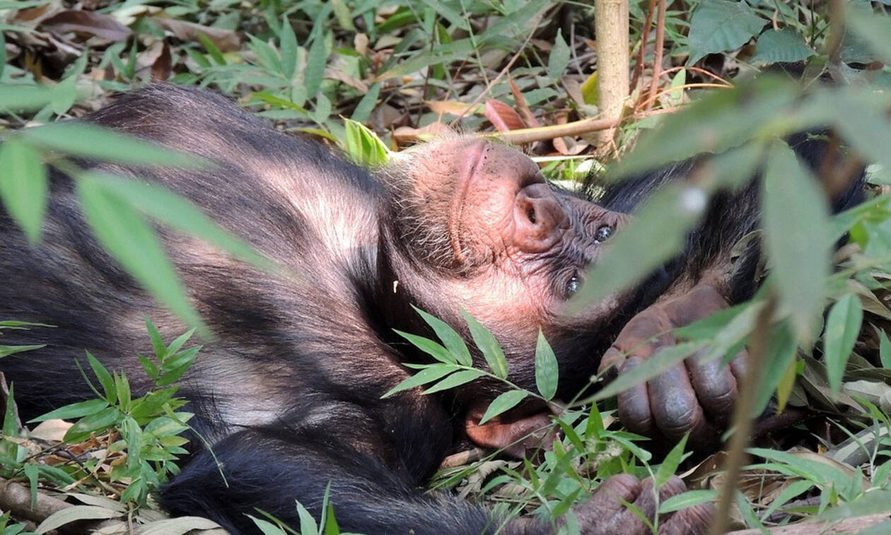 Έτριβαν τα μάτια τους! Χιμπατζήδες απέδρασαν από ζωολογικό κήπο με «κινηματογραφικό» τρόπο (pics)