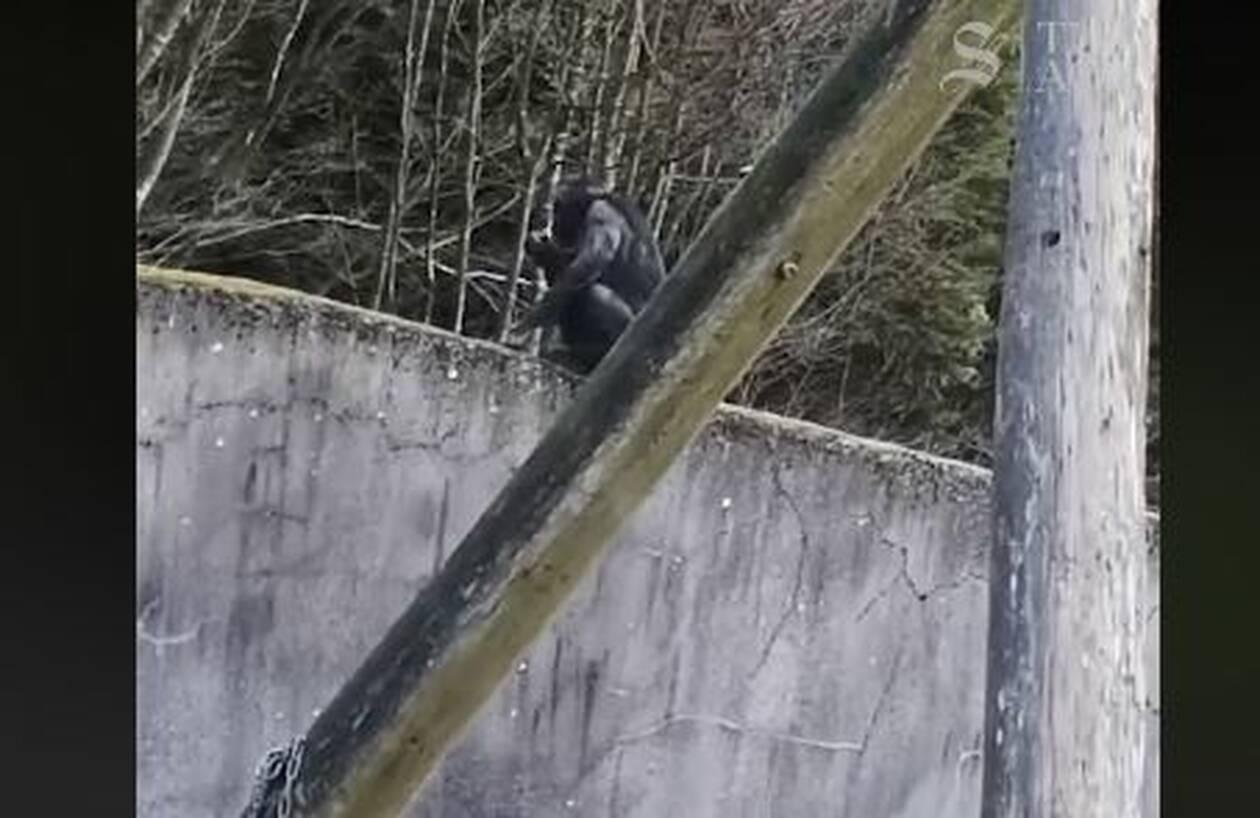 Έτριβαν τα μάτια τους Χιμπατζήδες απέδρασαν από ζωολογικό κήπο με «κινηματογραφικό» τρόπο