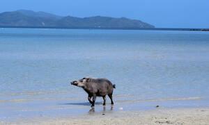 Εικόνες – σοκ σε παραλία: Γουρούνι δάγκωσε άγρια γνωστό μοντέλο (pics)