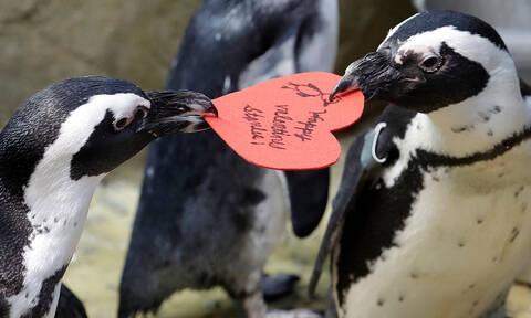 Γιορτή Αγίου Βαλεντίνου: Η απίστευτη αντίδραση πιγκουίνων όταν τους έδωσαν μια… «καρδιά» (pics)