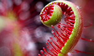 Φυτό-αράχνη «καταπίνει» έντομο! (video)