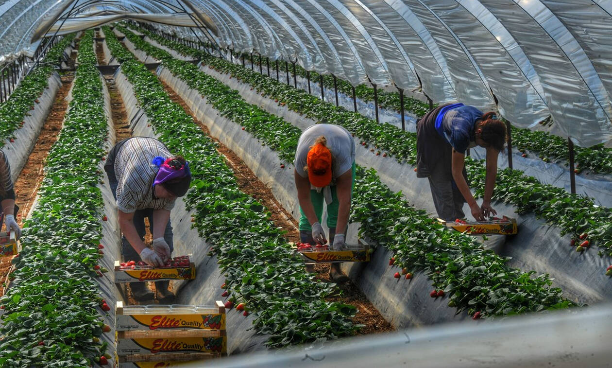Νέα εισαγγελική παρέμβαση για τα φραουλοχώραφα της Μανωλάδας