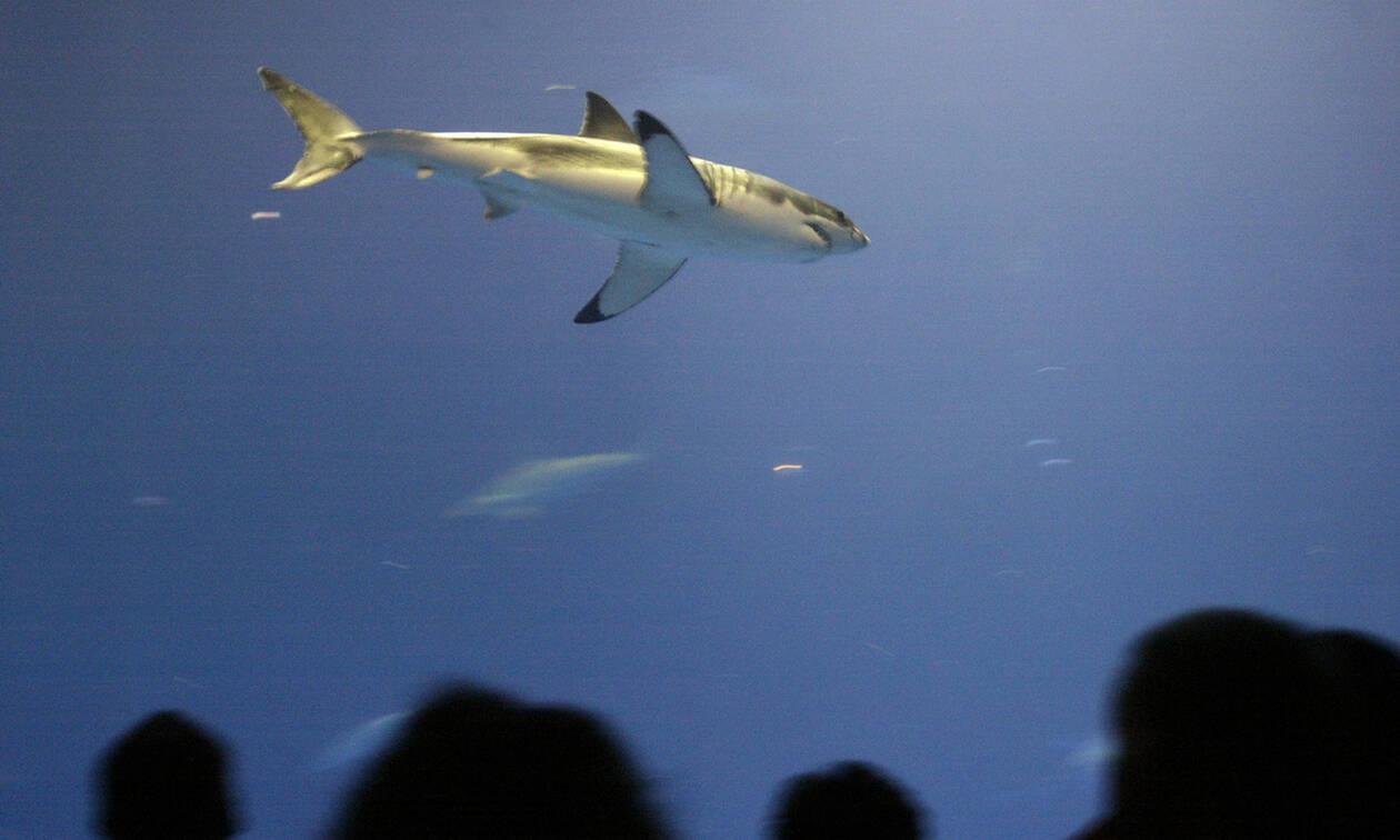 O μεγάλος λευκός καρχαρίας κρύβει χρήσιμα μυστικά κατά του καρκίνου