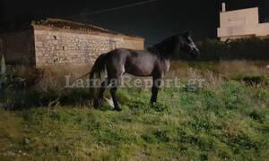 Απίστευτες εικόνες στη Λαμία: Κυνηγούσαν άλογα μέσα στην πόλη! (pics)