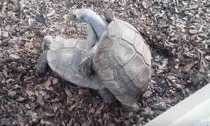 Η πρώτη χελώνα στον κόσμο που σώθηκε λόγω υπερβολικού... σεξ! (photos)