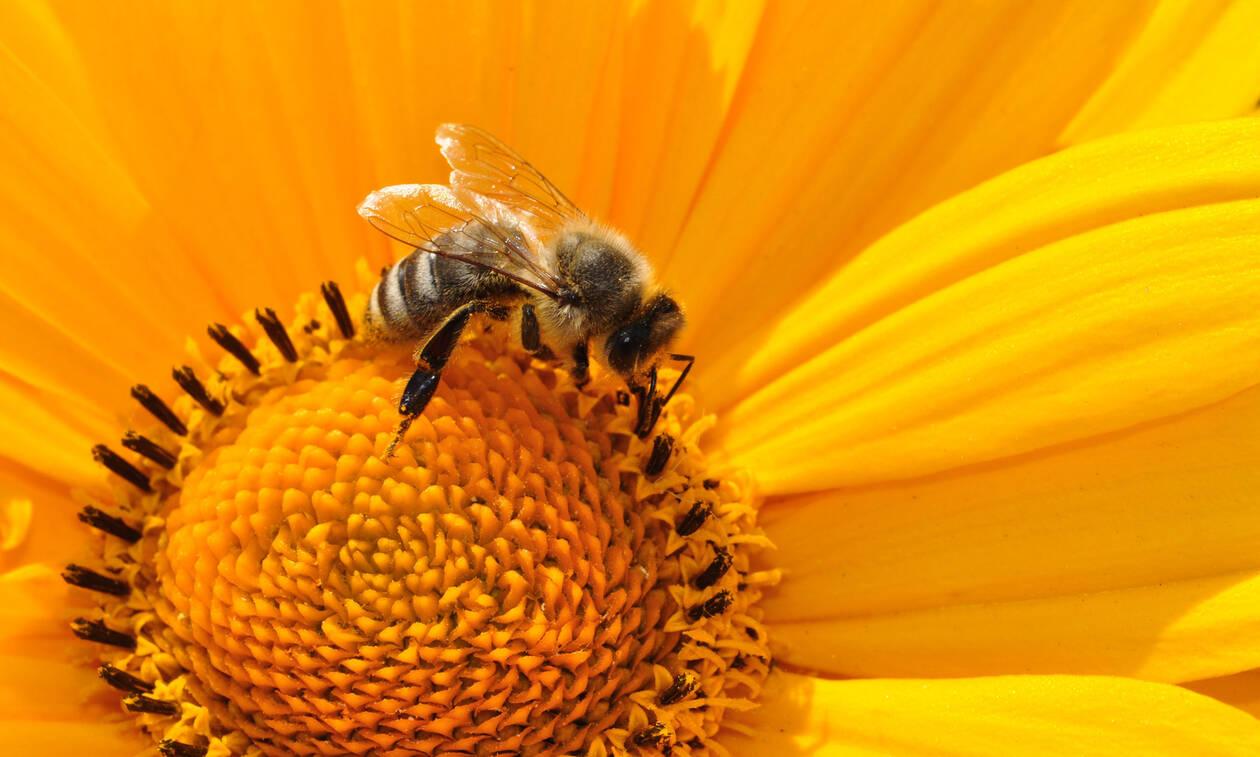 Εντοπίστηκε ξανά η μέλισσα – τέρας! (video)