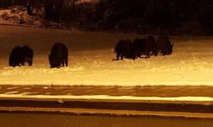 Θεσσαλονίκη: Κοπάδι αγριογούρουνων βγήκε για… νυχτερινή βόλτα στα χιόνια (video)