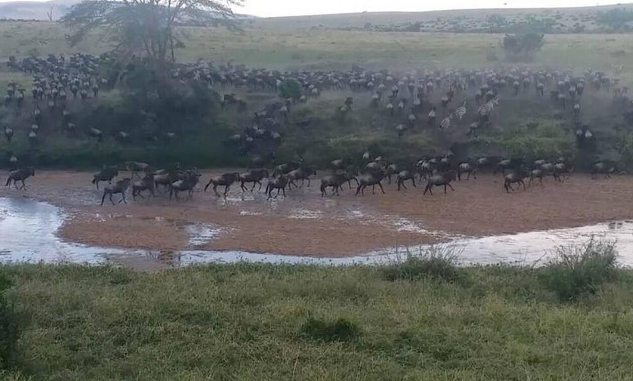 Αγέλη λιονταριών κάνει επίθεση σε 500 βουβάλια! (vid)