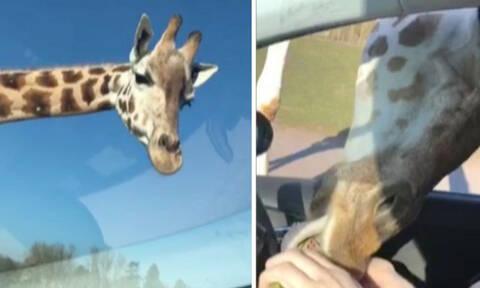 Καμηλοπάρδαλη χώνει το κεφάλι της μέσα σε αυτοκίνητο! Ο λόγος θα σας ενθουσιάσει (video)