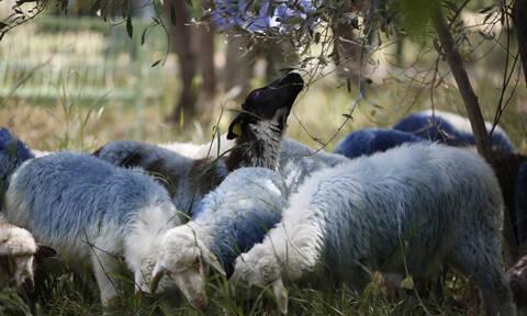 Άγριο ξύλο μεταξύ κτηνοτρόφων στην Κρήτη – Γιατί «άναψαν» τα αίματα