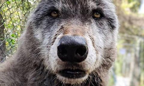 Γιούκι: Η συγκινητική ιστορία του τεράστιου λυκόσκυλου