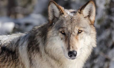 Φρίκη στον Έβρο: Βρέθηκε νεκρός λύκος - Γέμισε η περιοχή με δηλητηριασμένα δολώματα