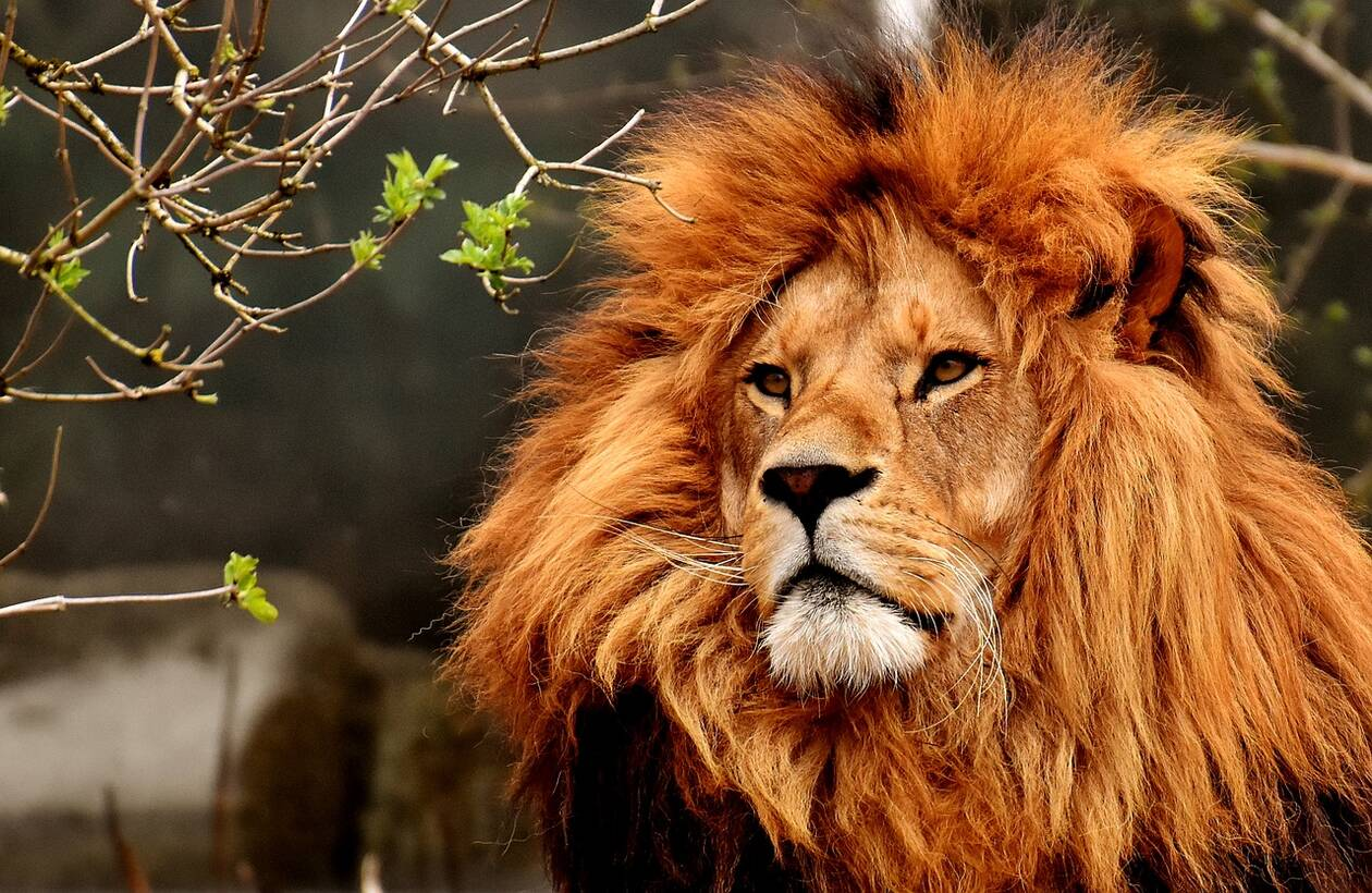 lion-3372720_1280.jpg