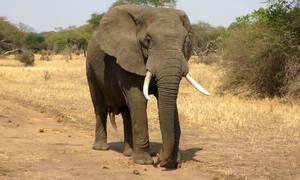 Εξαγριωμένος ελέφαντας σκοτώνει τον εκπαιδευτή που τον βασάνιζε (vid)