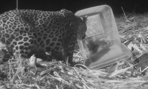 Συγκινητική στιγμή: Λεοπάρδαλη εννιά εβδομάδων ξαναβρίσκει τη μητέρα της (vid)