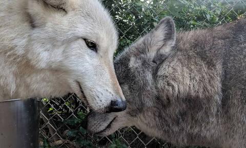 Εγκατέλειψαν λυκόσκυλο σε αγέλη λύκων και δεν θα πιστεύεις τι έγινε… (photos)
