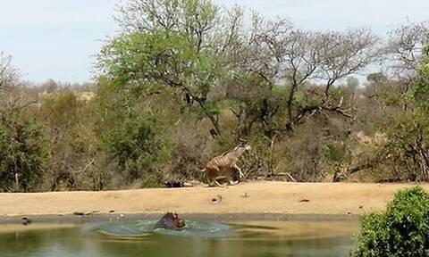 Αντιλόπη πλησιάζει λίμνη για να πιει νερό! Λογάριαζε χωρίς τον... (video)