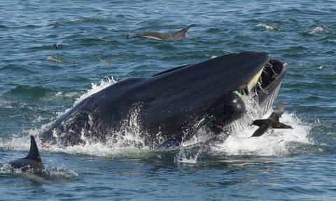 Συγκλονιστικό βίντεο: Δύτης παραλίγο να γίνει... γεύμα φάλαινας