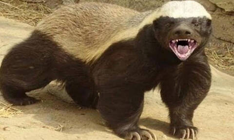 Μελοασβός! Το πιο επικίνδυνο ζώο στον κόσμο! Σκοτώνει λιοντάρια και τρώει...