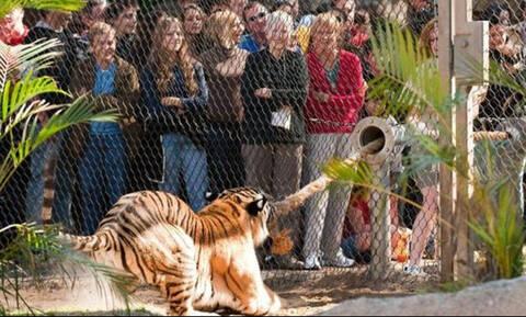 Του έπεσε το κινητό στο κλουβί της τίγρης και δεν φαντάζεστε τι έγινε μετά! (Vid)