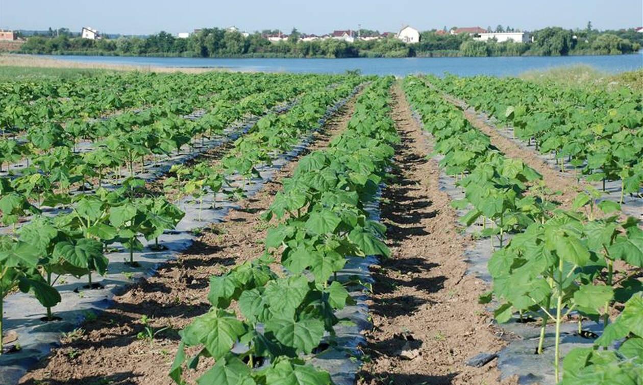 Αυτή η καλλιέργεια δίνει έως και 9.000 ευρώ το στρέμμα!