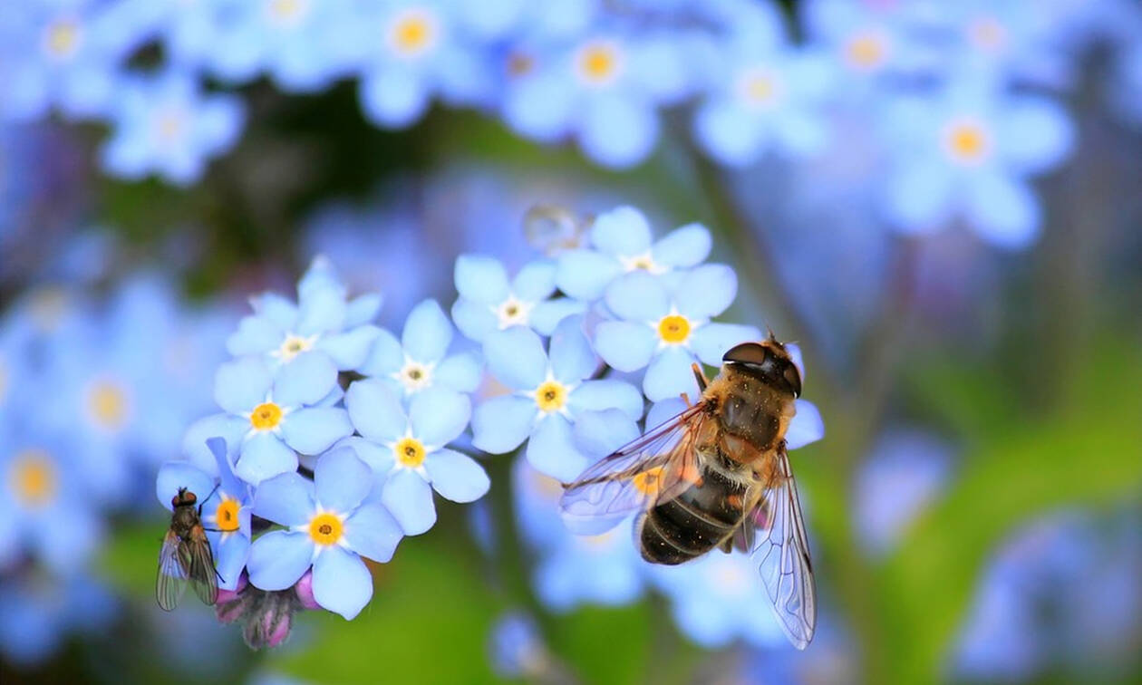 ΕΕ: Η μείωση των μελισσών αποτελεί λόγο ανησυχίας - Πώς δηλητηριάζονται