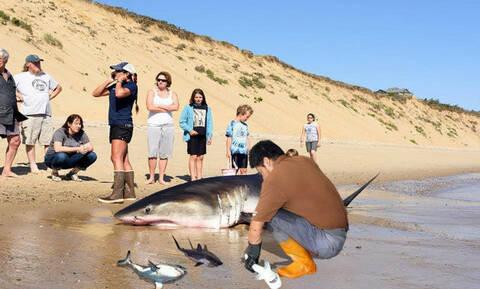 Το βίντεο της ημέρας! Άνδρας βοηθάει νεκρό καρχαρία να γεννήσει τρία μικρά!
