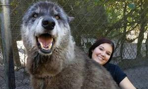 Συγκίνηση: Γλίτωσε λύκαινα-μαμούθ με καρκίνο από τον μπόγια! (pics)