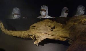 Νέες ελπίδες για την ανάσταση του προϊστορικού μαλλιαρού μαμούθ