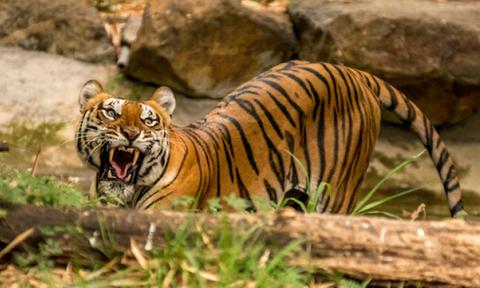 Δείτε το πιο θανατηφόρο ζώο στην ιστορία! Η τίγρη Champawat (photos)