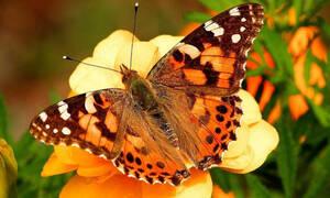 На Кипр прилетели миллионы бабочек
