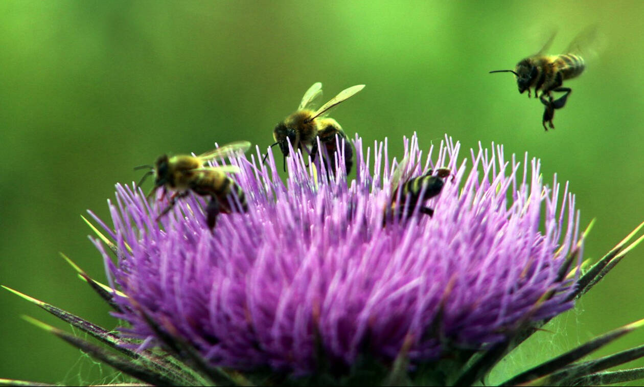 Ένα ευφάνταστο πείραμα: Μέλισσες από την Αυστρία επικοινώνησαν με ψάρια στην Ελβετία