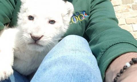 В кипрском зоопарке родился детеныш белого льва