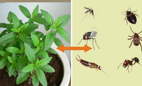 Αν έχετε αυτό το φυτό στο σπίτι σας, τότε είστε τυχεροί. Μάθετε το λόγο...