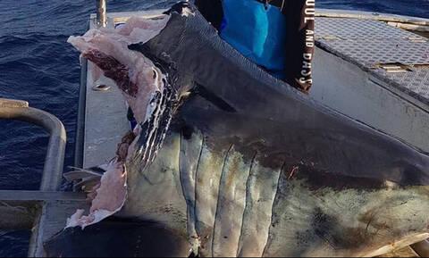 Μυστήριο με γιγάντιο αποκεφαλισμένο καρχαρία - Τι πλάσμα τού πήρε το κεφάλι;