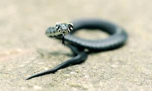 «Θρίλερ» στην άσφαλτο: Αν φοβάστε τα φίδια τότε δεν πρέπει με τίποτα να δείτε αυτό το βίντεο