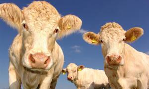 Γιατί βγήκαν οι αγελάδες στην Εθνική Οδό κι έκοβαν βόλτες; Δείτε το βίντεο