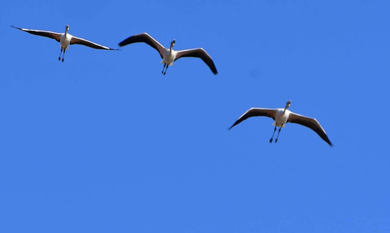 Ναύπλιο: Συγχρονισμένες πτήσεις φλαμίνγκο - Δείτε τις υπέροχες εικόνες