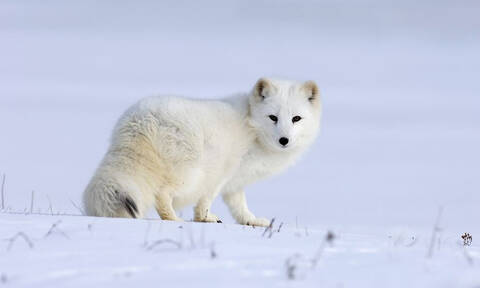 Αρκτική αλεπού γίνεται «φίλη» με φωτογράφο (video)