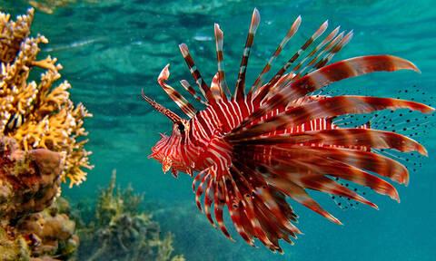 У берегов Кипра зафиксировано рекордное число опасных для человека рыб-крылаток