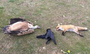 Φρίκη στη Θράκη: Δηλητηρίασαν 5 σπάνια αρπακτικά πουλιά μέσα σε ένα μήνα