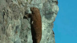 Σκληρό βίντεο: Η στιγμή που θαλάσσιος ίππος «αυτοκτονεί» λόγω της κλιματικής αλλαγής
