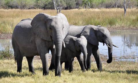 Λαθροκυνηγός ποδοπατήθηκε από ελέφαντα και κατασπαράχθηκε από λιοντάρια